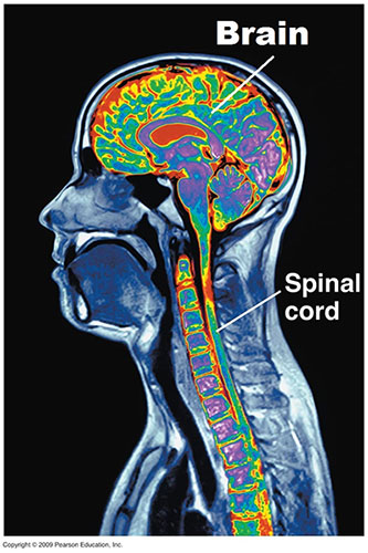 The Brain and Spinal Cord representing the nerve system